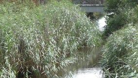 Cañas a lo largo de una orilla del río almacen de metraje de vídeo