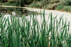 Cañas por el lago, un día de primavera, en naturaleza, una charca demasiado grande para su edad con la hierba, en el parque en la Fotos de archivo libres de regalías