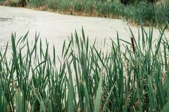 Cañas por el lago, un día de primavera, en naturaleza, una charca demasiado grande para su edad con la hierba, en el parque en la Imágenes de archivo libres de regalías