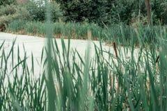 Cañas por el lago, un día de primavera, en naturaleza, una charca demasiado grande para su edad con la hierba, en el parque en un Fotografía de archivo