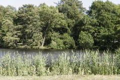 Cañas que crecen en el lago Imagen de archivo libre de regalías