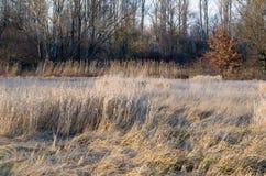 Cañas secadas del invierno Fotos de archivo