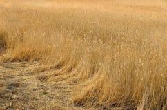 Cañas secas en el campo Foto de archivo