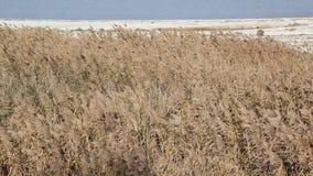 Cañas secas en la playa almacen de video