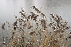 Cañas tempranas del invierno fotos de archivo libres de regalías