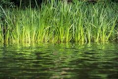 Cañas verdes en la orilla del lago Fotografía de archivo libre de regalías