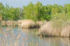Cañas y árboles en la orilla del lago Fotografía de archivo libre de regalías