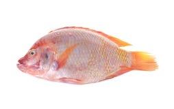 Cała round świeża czerwona Tilapia ryba lub TUB-TIM ryba na bielu Zdjęcia Royalty Free