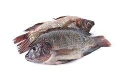 Cała round świeża Tilapia ryba na bielu Obraz Royalty Free
