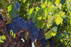 całkiem winogron butelki robią wino czerwone Zdjęcia Royalty Free