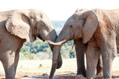 Całkowicie Piękny - afrykanina Bush słoń Zdjęcie Royalty Free