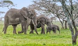 Całkowita słoń rodzina podczas dnia zdjęcia stock