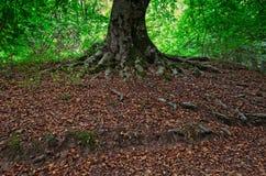 Całkowity systemu korzeń bukowy drzewo obraz royalty free
