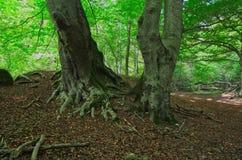 Całkowity systemu korzeń bukowy drzewo zdjęcia stock