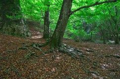 Całkowity systemu korzeń bukowy drzewo zdjęcia royalty free