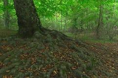 Całkowity systemu korzeń bukowy drzewo fotografia stock