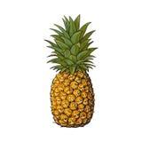 Całość, unpeeled, uncut ananas, odizolowywająca nakreślenie stylu wektoru ilustracja royalty ilustracja