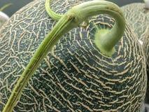 Całość zielonego melonu z badylem zamkniętym w górę strzału zdjęcia stock