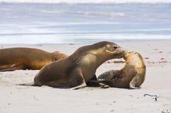 Całować foki fotografia royalty free