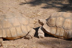 całowanie żółwie Obraz Stock