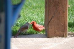 Całowanie kardynały Fotografia Stock