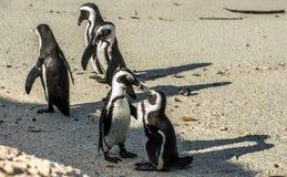 Całowanie pingwiny na plaży Zdjęcia Royalty Free
