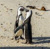 Całowanie pingwiny na plaży Zdjęcie Stock