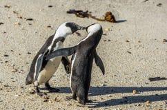 Całowanie pingwiny na plaży Zdjęcia Stock