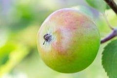 Całujący jabłko na drzewie Zdjęcia Stock