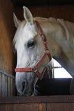 cały arabski krwionośny koń Zdjęcie Stock