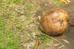 Całych round orzecha włoskiego drzewek palmowych kokosowych starych owocowych drzewek palmowych projekta tropikalna flora na tle  obrazy royalty free