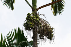 Are-ca φοίνικας καρυδιών στο δέντρο στοκ φωτογραφίες