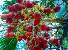 Are-ca φοίνικας καρυδιών στο δέντρο στοκ εικόνα με δικαίωμα ελεύθερης χρήσης