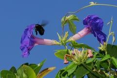 CA Carpenter Bee and Morning Glories. Adult California Carpenter Bee in flight near Morning Glory (Iponea nil or purpurea) flowers Stock Images