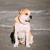 Ca de Bou или Perro de Presa Mallorquin, собака Molossian Стоковая Фотография