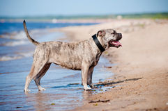 Ca de bou dog on the beach Royalty Free Stock Photography