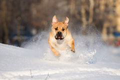 Ca de bou dog jumps in snow Stock Images
