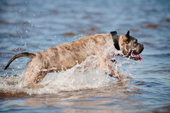 Ca de bou dog jumps in the water Stock Image