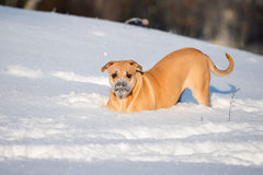 Ca de bou dog outdoors in winter. Ca de bou dog walking outdoors in winter Royalty Free Stock Photos