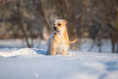 Ca de bou dog outdoors in winter Royalty Free Stock Image
