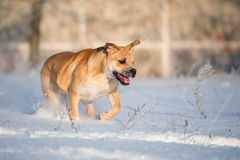 Ca de bou dog outdoors in winter Stock Image