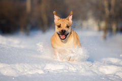 Ca de bou dog outdoors in winter. Ca de bou dog walking outdoors in winter Stock Images