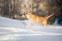 Ca de bou dog playing outdoors in winter Stock Photos