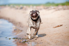 Ca de bou dog running on the beach Stock Image