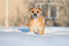 Ca de bou dog standing outdoors in winter. Ca de bou dog walking outdoors in winter Royalty Free Stock Photography