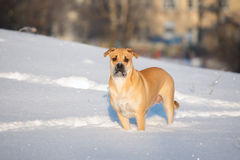 Ca de bou dog standing outdoors in winter. Ca de bou dog walking outdoors in winter Stock Image