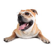 ca de Bou (Mallorquin大型猛犬, Mallorquin牛头犬, Perro多戈Ma 库存图片