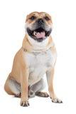 Ca De Bou (Mallorquin mastif, Mallorquin buldog, Perro Dogo Ma Zdjęcie Stock