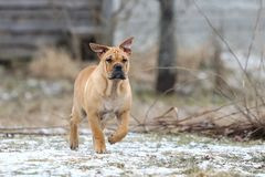 Ca De Bou Mallorquin Mastiff Puppy Dog Royalty Free Stock Photography