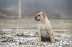 Ca de Bou Mallorquin Mastiff puppy dog stock photography